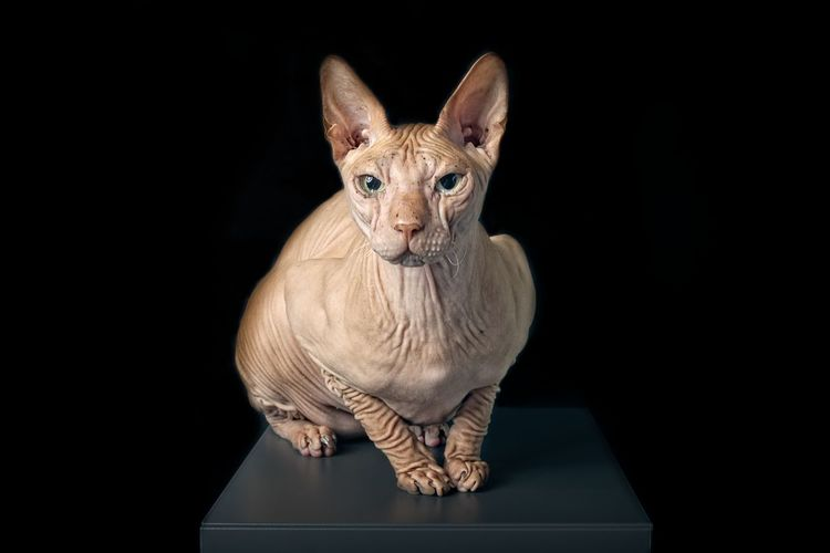 Portrait of a sphynx cat isolated on black background. One Animal Black Background Animal Wildlife Cat Copy Space Close-up No People Studio Shot Domestic Animals Looking At Camera Front View Completely Bald Sphynx Cat Cats Of EyeEm Pentax Hairless Cat Isolated On Black Vertebrate Animal Eye Indoors  Portrait Animal Portrait Pets FUNNY ANIMALS Domestic