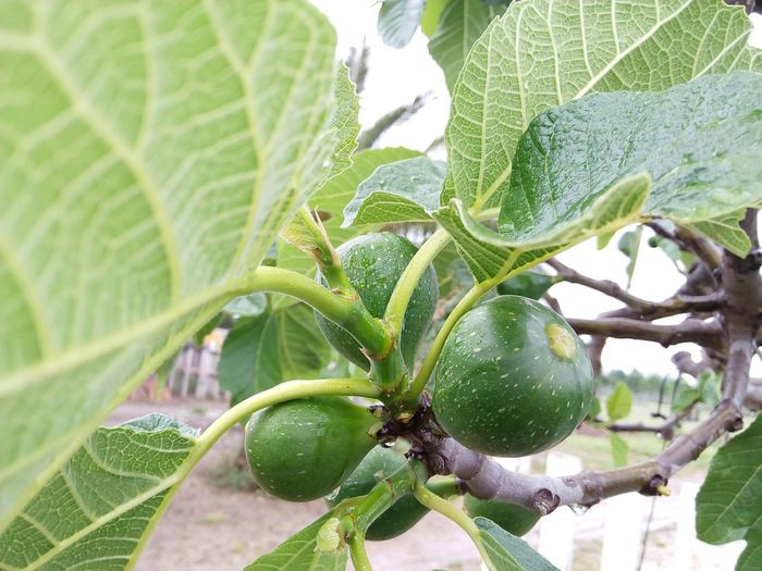 Close-up of figs growing on tree branch