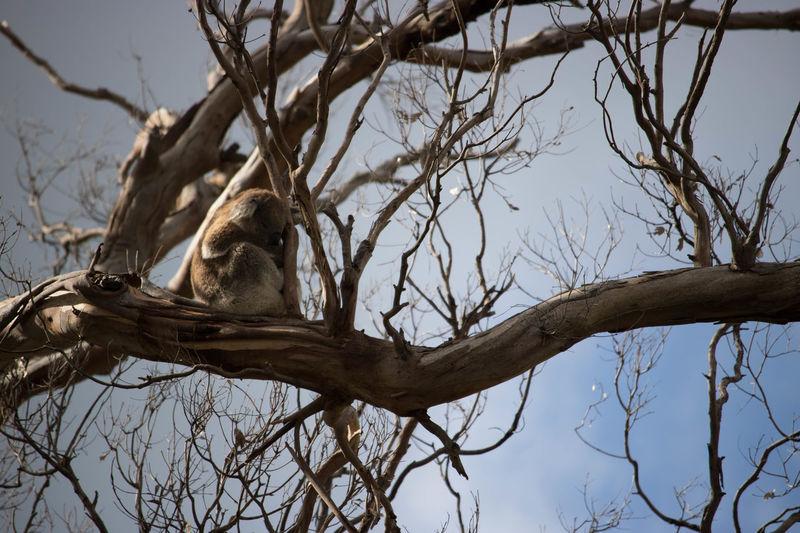 Koala Australia Koala Bear Koala On A Tree Animal Tree Animal Wildlife Outdoors No People Branch