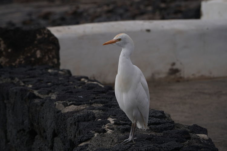 James the egret01 Animal Themes Animals In The Wild Animal Wildlife Vertebrate Animal Bird One Animal Solid Rock Rock - Object White Color Focus On Foreground Perching No People Day Nature Seagull Looking Full Length Egret Outdoors James The Egret Egret Lanzarote Lanzarote Animal