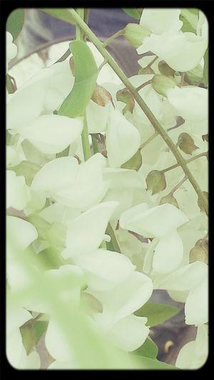 향기로운 아카시아꽃 Walking Around, Flowers