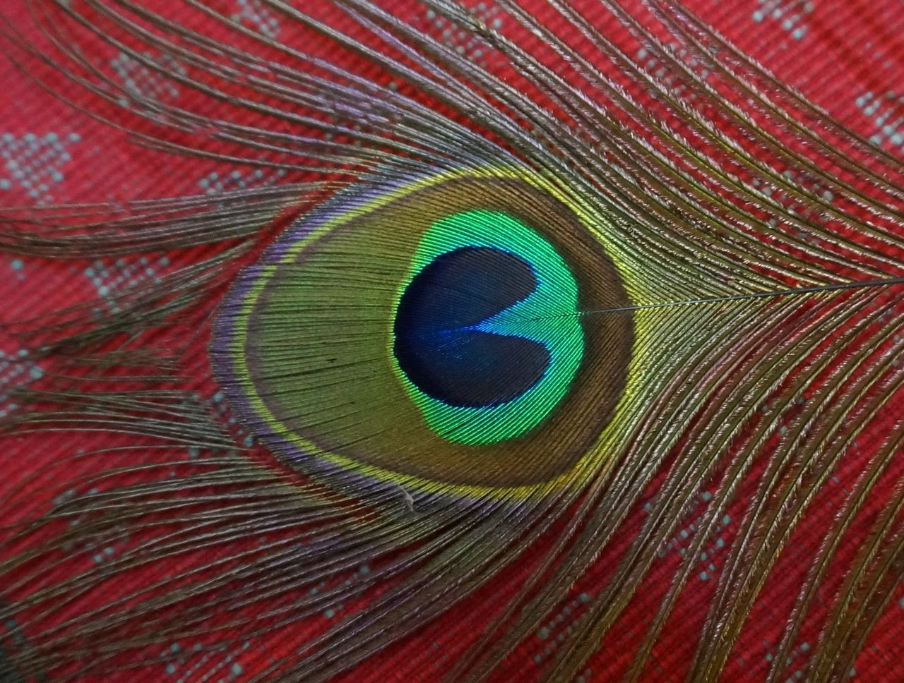 peacock, peacock feather, feather, close-up, full frame, backgrounds, no people, multi colored, one animal, fragility, animal themes, bird, red, beauty in nature, nature, fanned out, day, outdoors