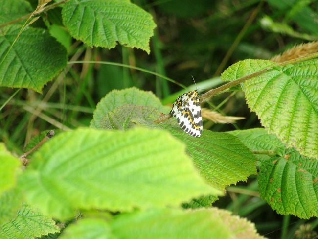 Magpie moth Moth Insect Insects  Insect Photography Insect Collection Leaf Leaves Hazel Hazelwood Mizen Peninsula West Cork Wildatlanticway Ireland