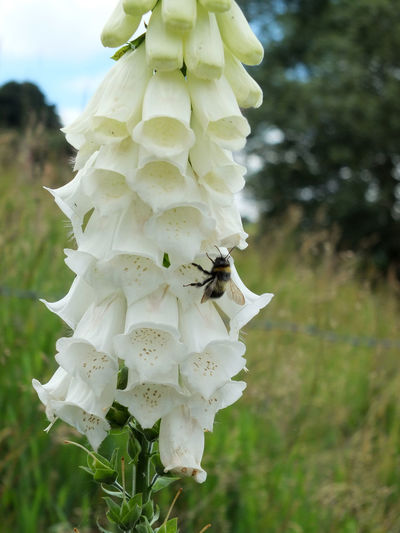 what foxglove in nature with bee Animal Themes Beauty In Nature Bee Close-up Day Flower Flower Head Focus On Foreground Foxglove Foxgloves Fragility Freshness Growth Nature No People Outdoors Petal Plant White Color White Foxglove