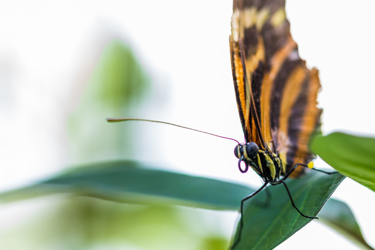 insect, animal themes, one animal, animals in the wild, focus on foreground, animal wildlife, close-up, no people, butterfly - insect, day, outdoors, nature, beauty in nature