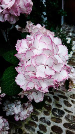 Patios De Córdoba Water Close-up Petal Plant Life Botany Fragility Cosmos Flower