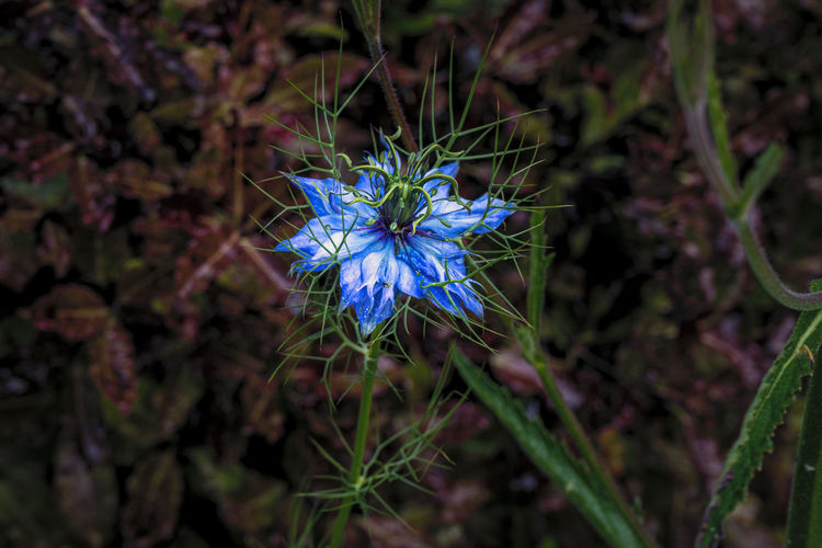 High angle view of blue flowering plant