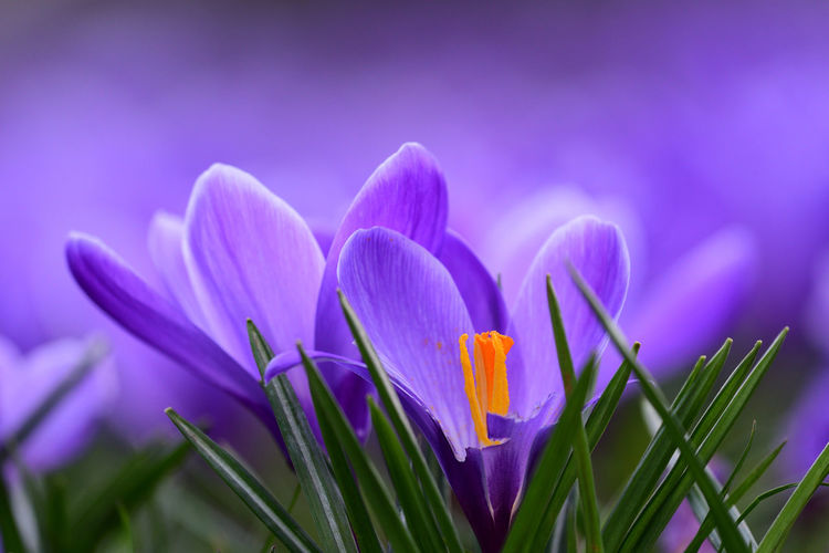 Check This Out EyeEm Best Shots EyeEm Nature Lover Freshness Growth Low Angle View Nature Peuple Taking Photos Beauty In Nature Blooming Close-up Crocus Day Flower Flower Head Focus On Foreground Fragility Nature_collection No People Non-urban Scene Outdoors Selective Focus Spring Springtime