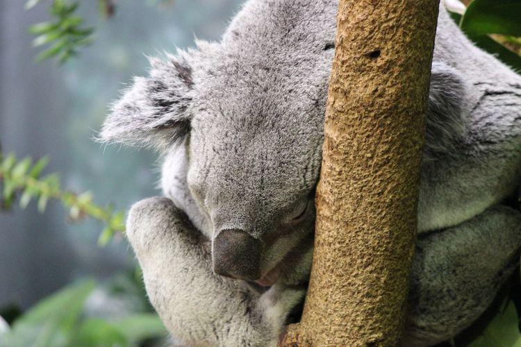 Close-up of a sleeping koala bear