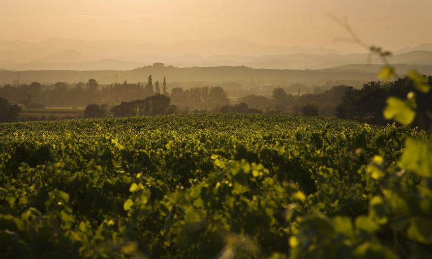 Scenic view of french vineyards  against sky during sunset