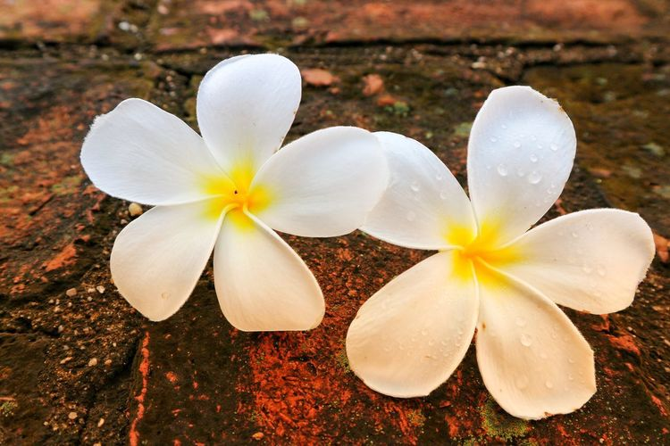 Close-up of white frangipani flowers on field