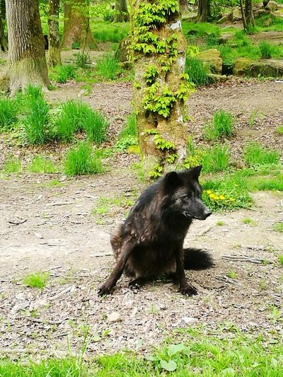 One Animal Mammal Animals In The Wild Animal Wildlife Animal Themes Outdoors No People Grass Nature Day Black Wolf White Wolves Wolf