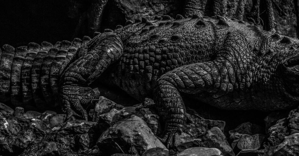 Mid Section Of Crocodile