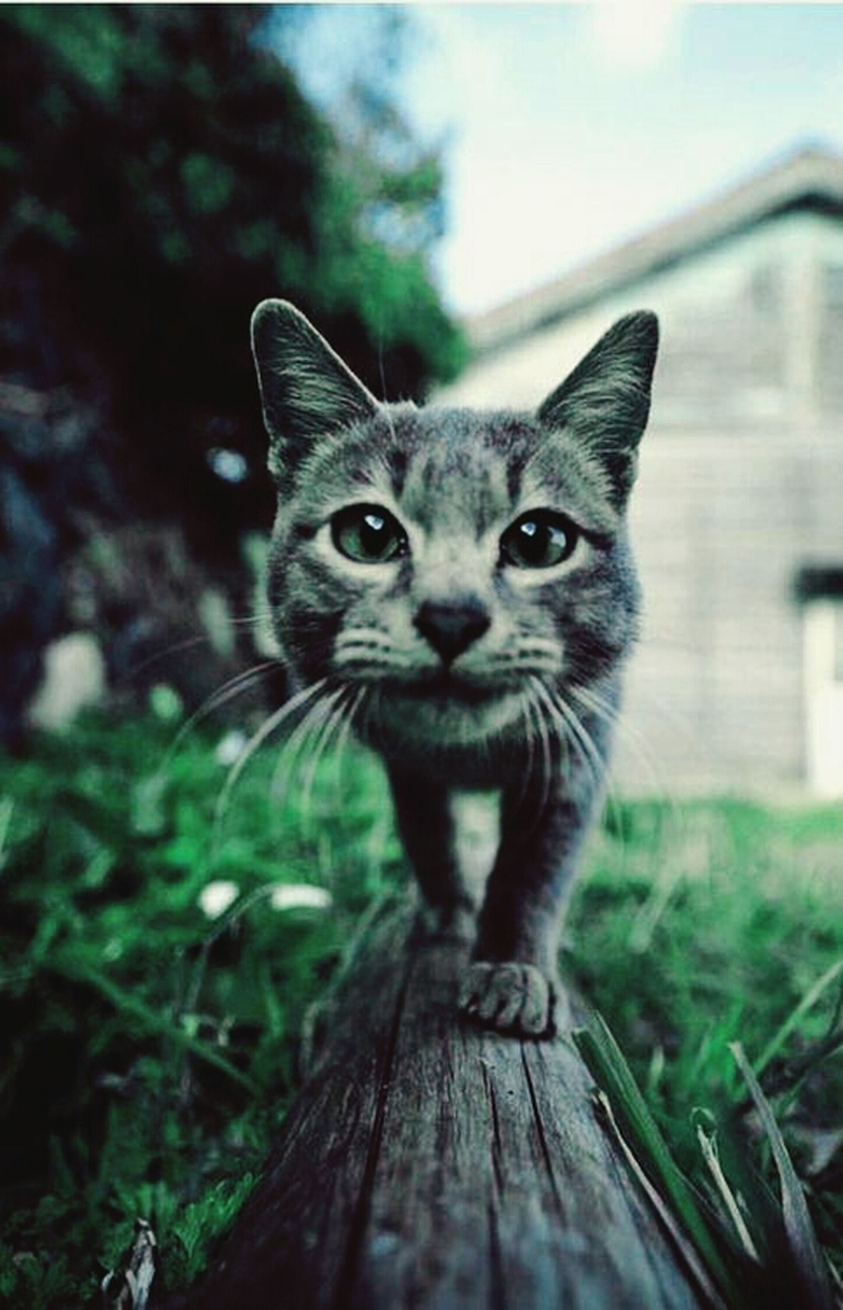 domestic cat, one animal, animal themes, pets, cat, mammal, feline, domestic animals, portrait, looking at camera, whisker, grass, focus on foreground, front view, field, close-up, sitting, staring, alertness, selective focus