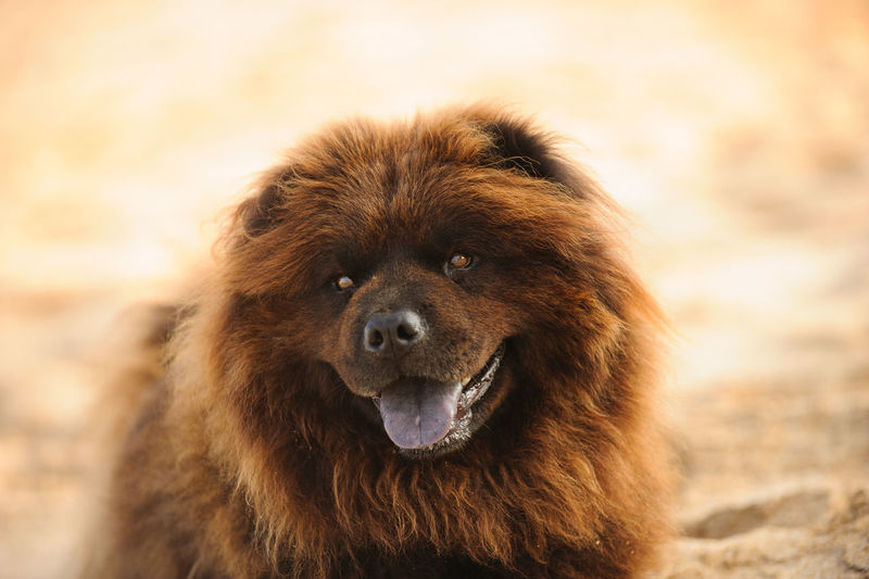 Chow Chow dog Chow Chow Chow Chow Dog One Animal Animal Themes Animal Brown No People Portrait Looking At Camera Day Dog Beach Outdoors Purebred Dog Fluffy