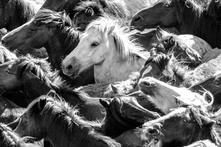 Animal Head  Animal Themes Black And White Close-up Day Detail Galicia, Spain Herd Horses Livestock Mammal Monochrome Nature No People Outdoors Rapa Das Bestas Sunny Day Wildlife Resist The Photojournalist - 2017 EyeEm Awards The Great Outdoors - 2017 EyeEm Awards