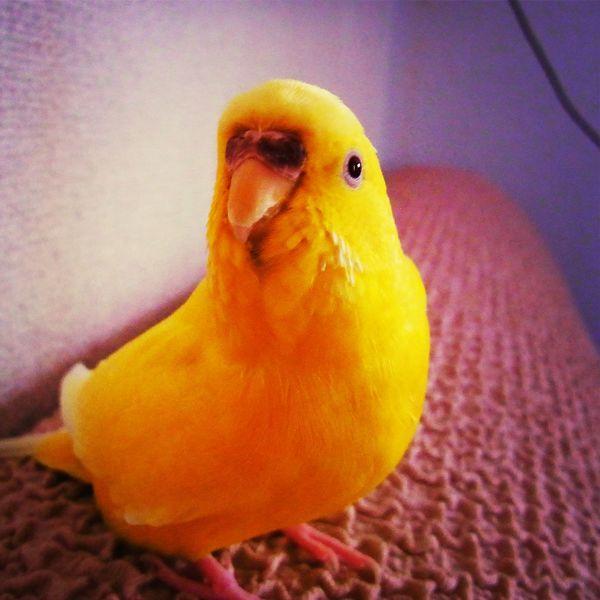 インコ Macaw Bird. Parakeet