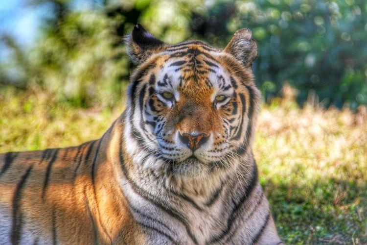 Walt Disney World Disney's Animal Kingdom Animal Kingdom Tiger Orlando Orlando Florida Florida Capture The Moment
