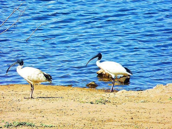 At The Park a pair of ibis. Walking Around Bird Watching Bird Photography Birds Enjoying The Sun