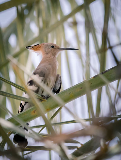 Hoopoe Animal Themes Animal Wildlife Animals In The Wild Beak Best Of EyeEm Bird Bird Photography Birds Close-up Day Dubai Nature Nature_collection No People One Animal Outdoors Perching Tree Wildlife Woodpecker