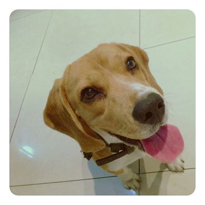 """""""Oh the sight of daddy preparing my dinner. Priceless!"""" Beagle Beagles  Instadog Instapuppy dog dailypuppy pet potd beaglelovers puppy"""