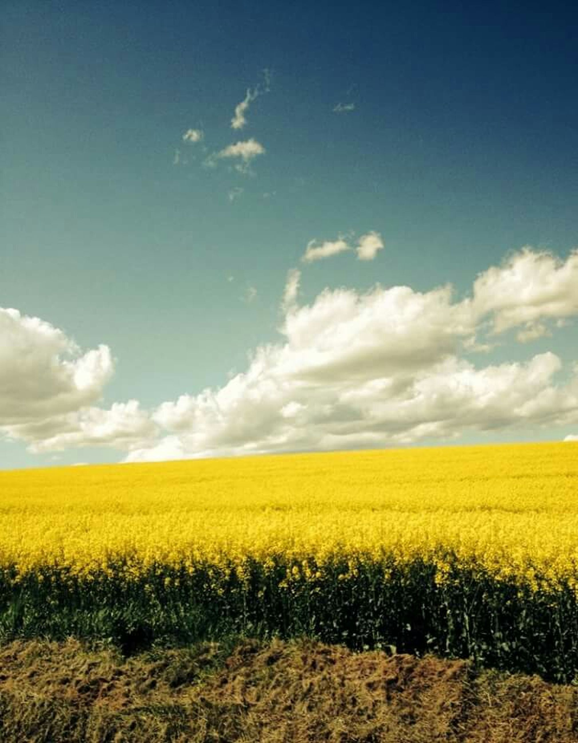 agriculture, yellow, rural scene, field, farm, crop, sky, landscape, tranquil scene, beauty in nature, growth, tranquility, oilseed rape, nature, cultivated land, scenics, cloud - sky, flower, cloud, horizon over land