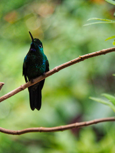 Wildlife - Birds Animal Themes Animal Wildlife Bird Animals In The Wild Animal Vertebrate One Animal Perching Plant Tree No People Day Nature Focus On Foreground Beauty In Nature Close-up Outdoors Costa Rica EyeEm Nature Lover Nature Photography Nature On Your Doorstep Branch Green Color Twig Beak Hummingbird