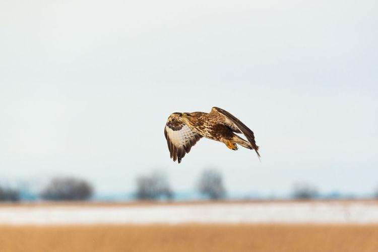 Common Buzzard Buzzard  Buteo Buteo Bird Of Prey Prey Predator Bird Hawk Nature Animal Aves Falcon - Bird Ornitology Flying Bird Flying