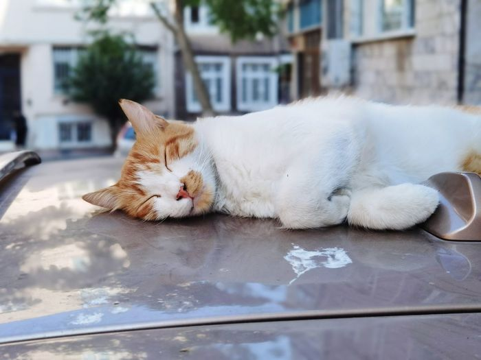 Cat sleeping in a car