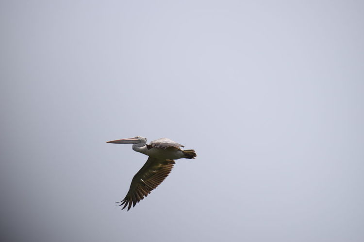 happily fying........ NIKON D5300 Nikon Photography Nikon Nikonphotography Photography No People Nikond5300 Day Flying High Bird Of Prey Bird Spread Wings Flying Full Length Vulture Sky Animal Themes Pelican