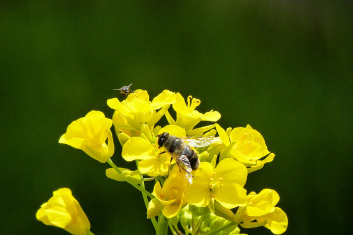 bee, flower, yellow Beauty In Nature Bee Bee Fly Bee On Flower. Collecting Pollen Close-up Flower Fragility Nature No People Plant Springtime Yellow Yellow Flower