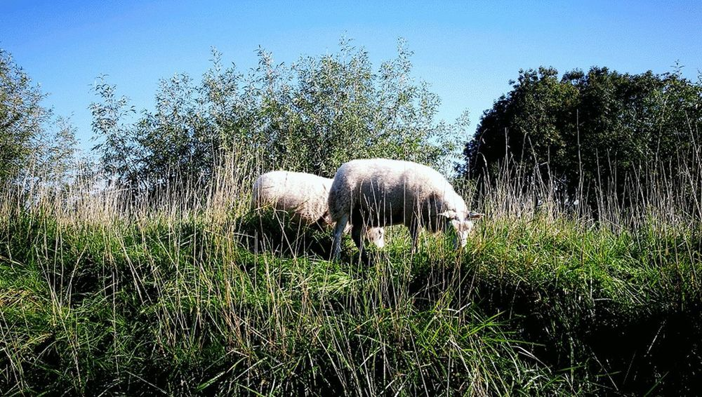 Grass Nature No People Beauty In Nature Outdoors Animal Themes Mammal Sheeps 🐑 Sheep Grazing Sheep Wool Agriculture Grass Livestock Domestic Animals Sheep Sheeps Sheeps Grazing