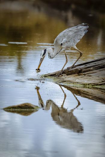 A Grey Heron in