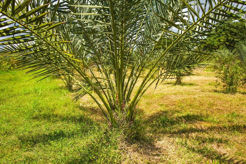 Barhi Dates Dates On Date Palm Barhi Date Palm Date Palm Garde Date Palm Tree Date Palms