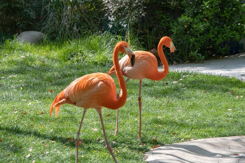 Flamingo Flamingo EyeEm Selects Animal Themes Bird Animal Vertebrate Animals In The Wild Plant Orange Color Group Of Animals No People Flamingo Land Outdoors Field Grass Green Color Sunlight Growth Animal Wildlife Nature Day