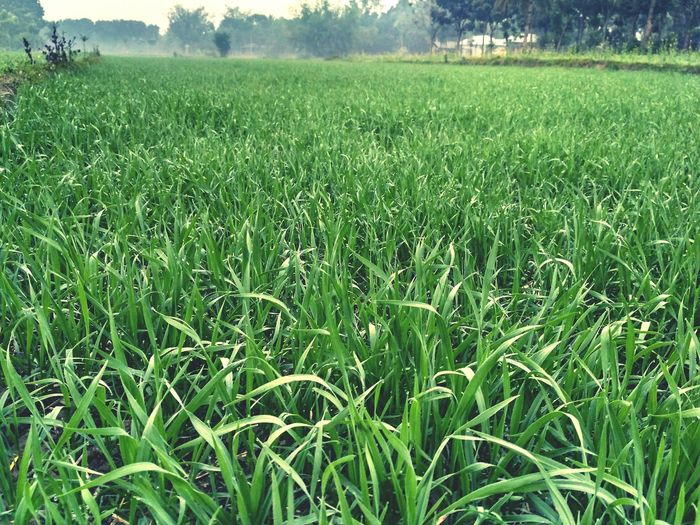 Growth Green Color Field Nature Grass Agriculture Beauty In Nature Tranquility Rural Scene No People Landscape Day Tranquil Scene Scenics Outdoors Misty Morning Foggy Morning Foggy Weather Village Bangladesh 🇧🇩