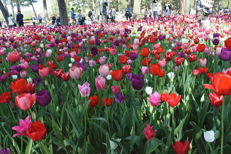 Close-up of red tulips in park