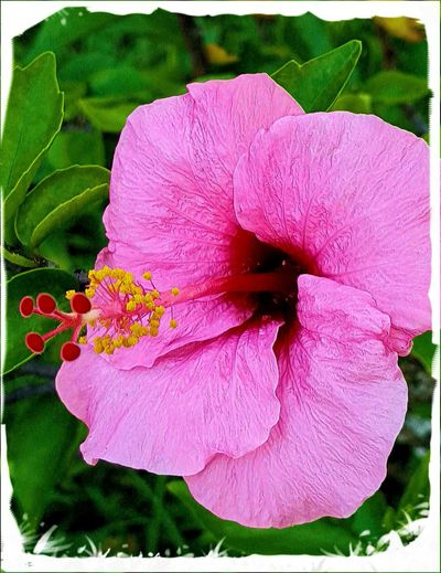 Flower Nature Petal Fragility Flower Head Beauty In Nature Pink Color Freshness Pollen Growth Close-up Plant Blooming Vertical No People Day Outdoors Pink Hawaiian Flower Hawaii Hibiscus