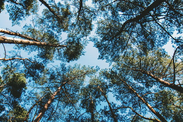 Frensham Little Pond Tree Branch Clear Sky Forest Backgrounds Full Frame Sky Tree Canopy  Treetop Directly Below Pine Woodland Pine Tree High Tree Area Dense Upward View Leaves WoodLand