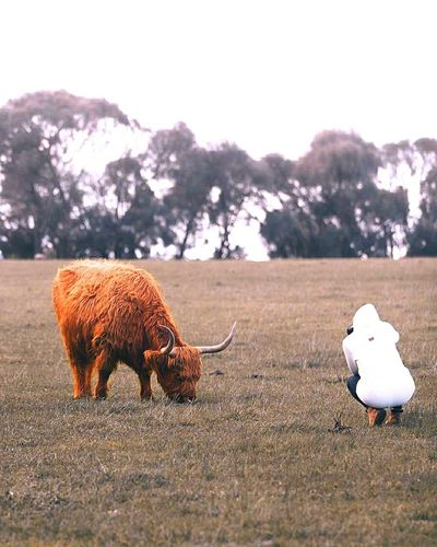 Rear view of person photographing highland cattle grazing on land