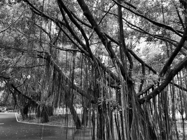 Black And White Black And White Photography Black And White Tree Black And White Tree Trunk Tree Photography Tree View Low Angle View Banyan Banyan Tree Banyan Root Banyan Tree Roots Banyan Tree Trunk Way In The Park Tree In Nature Nature Photography Big Truck Big Tree The Park Tree In The Park Tree Tree Trunk