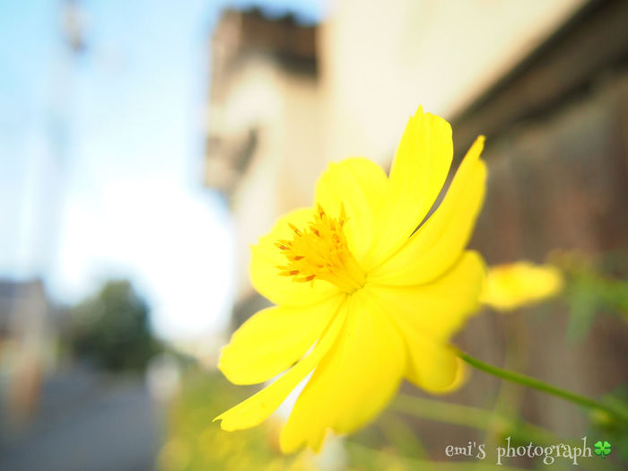 Relaxing Enjoying Life Holiday お散歩 Yellow Flower Olympus PENLITE