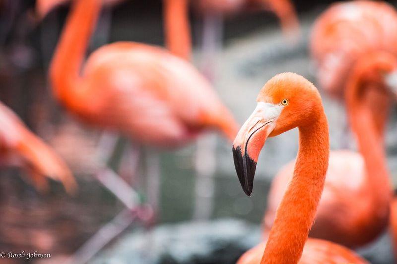 Flamingo at