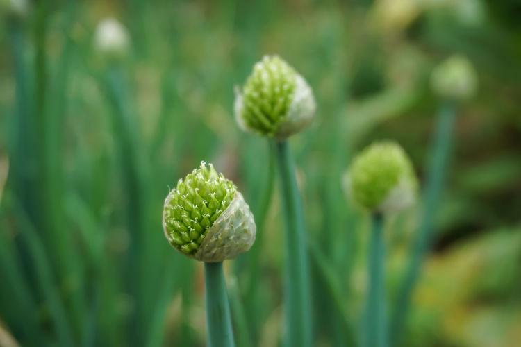 shallot flower