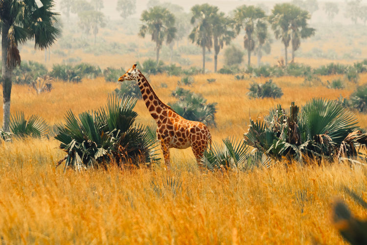 Side view of giraffe on field