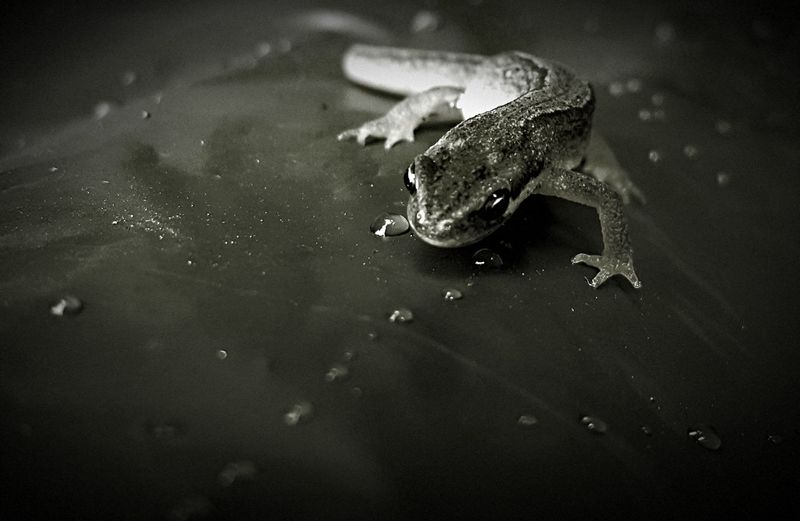 AntiM Pet Portraits Teichmolch Amphibian Animal Themes Animals In The Wild Blackandwhite Close-up Day Nature No People One Animal Outdoors Reptile Water Waterdrops