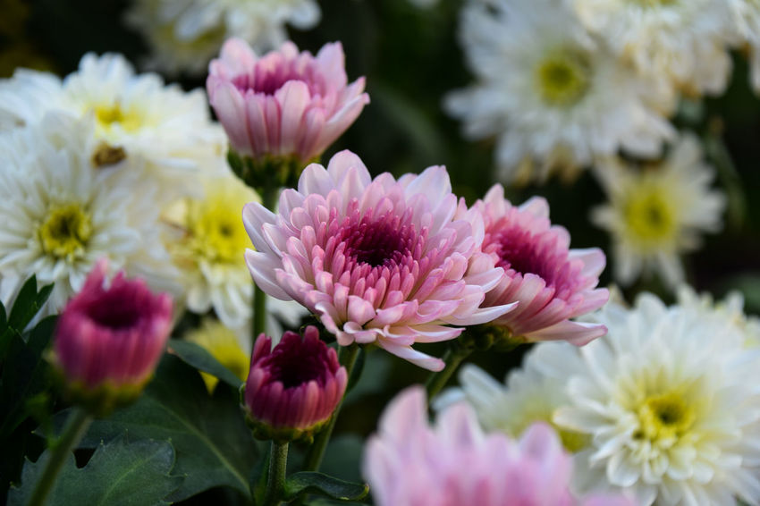 Close up of chrysanthemum flowers. Chrysanthemum Flower Head Flower Peony  Pink Color Multi Colored Springtime Close-up Plant Pale Pink Plant Life Blooming Blossom Botany