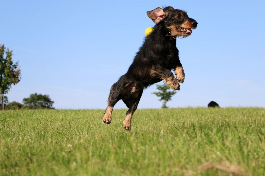 funny jumping wire haired dachshound in the garden Dackel FUNNY ANIMALS Teckel Action Clear Sky Dachshound Dachshund Day Dog Domestic Animals Field Flying Full Length Grass Jumping Motion Nature No People One Animal Outdoors Pets Rauhaardackel Sport Summer Tree