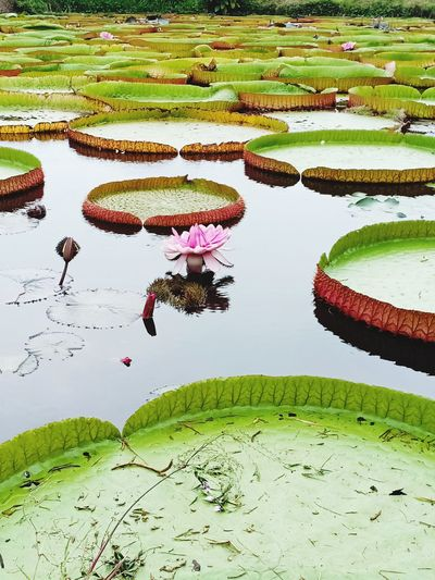 victoria amazonica Victoria Victoria Amazonica Victoria Amazonica Leaf Leafs Leafphotography Lotus Nature Lotus Flower Lotus Leaf Lotus Garden Lotus Flower Water Lotus Water Lily Lotus Field Lotus Thai Water Rice Paddy Flood Rural Scene Farmer Agriculture Rice - Cereal Plant Leaf Water Lily Reflection