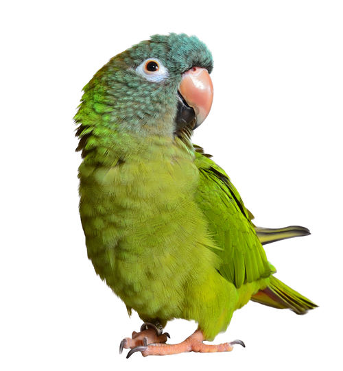 Animal Themes Animal Wildlife Animals In The Wild Beak Bird Budgerigar Close-up Day Green Color Nature No People One Animal Outdoors Parrot Perching White Background